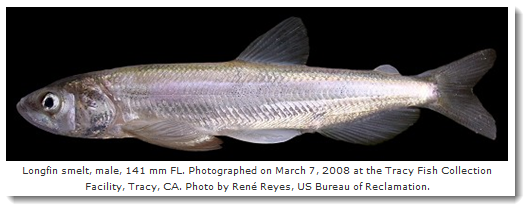 Longfin Smelt; Photo by Rene Reyes, US Bureau of Reclamation